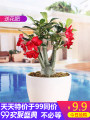 flowers and plants Four seasons Clean air, beautiful and interesting Woody flowers yes Adenium obesum Balcony desk study living room Very easy. Aden gardener It's better to plant without pot Adenium obesum