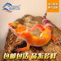 Other reptiles / buzzers Haiwei pet BW