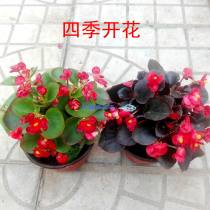 flowers and plants Four seasons Humidifying and purifying air Flower bulbs yes Begonia tuberous  Balcony desk windowsill Very easy. Jinyuan flowers No basin, no Basin