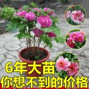 flowers and plants spring Humidifying and absorbing formaldehyde to prevent radiation and purify air Woody flowers no peony Balcony windowsill study living room courtyard roof Very easy. Wanmei No Basin Peony seedling