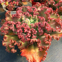 Succulent plants Very easy. Sedum L. of Crassulaceae Balcony, windowsill nothing Formaldehyde absorption and radiation protection No Basin The crown of red ball skirt is 5-8cm, and the crown of big red ball skirt is 10-15cm