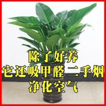 Green plants Absorb formaldehyde, purify air, beautiful and interesting nothing Very easy. other Balcony, desk, windowsill, tea table, study, toilet, kitchen, bedroom, living room, courtyard, roof Foliage plants Below 5cm Without basin, with basin Other / other
