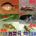 Other reptiles / buzzers A grasshopper Mantis, a sand ox, a bamboo shoot insect, a green grass cicada, a wild cricket