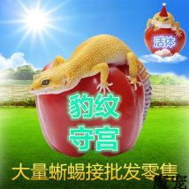 Other reptiles / buzzers Leopard palace baby leopard palace sub adult leopard palace adult freight 10 yuan