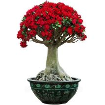 flowers and plants Four seasons Absorbing formaldehyde to purify air Woody flowers no Adenium obesum Balcony desk windowsill living room Very easy. No basin, no Basin