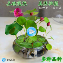 flowers and plants Four seasons Absorbing formaldehyde, preventing radiation and purifying air Aquatic flowers no Bowl lotus Balcony desk windowsill study living room Very easy. Xuanran No basin, no Basin Lotus Zero point five Zero point five