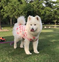 Pet clothing / raincoat Favorite home vest Dog princess 001 Other 30 (3-5), 40 (5-8), 50 (43-48), 60 (48-53), 70 (53-58), 80 (58-68), 90 (67-78), 100 (78-88), 110 (88-98) Love rabbit (pink), pink rainbow, strawberry (red), pink rabbit, blue hedgehog, white rabbit, hearty, cool watermelon
