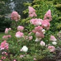 3 Gallon Pot, Vanilla STAWBERRY Hydrangea, Lots and Lots of conical Blooms,Starting Green, Than White and Touches of Pink,Very Low Maintenance (Hydrangeas Shrub, Evergreens, Gardenia