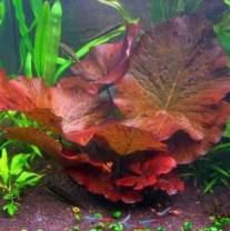 PAPCOOL Aquarium Lily - Dwarf Aquarium Plants - Nymphaea Stellata Rubra