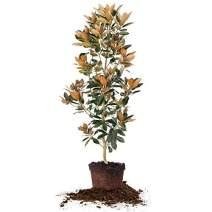 Perfect Plants Little Gem Magnolia Live Plant, 5-6', Includes Care Guide