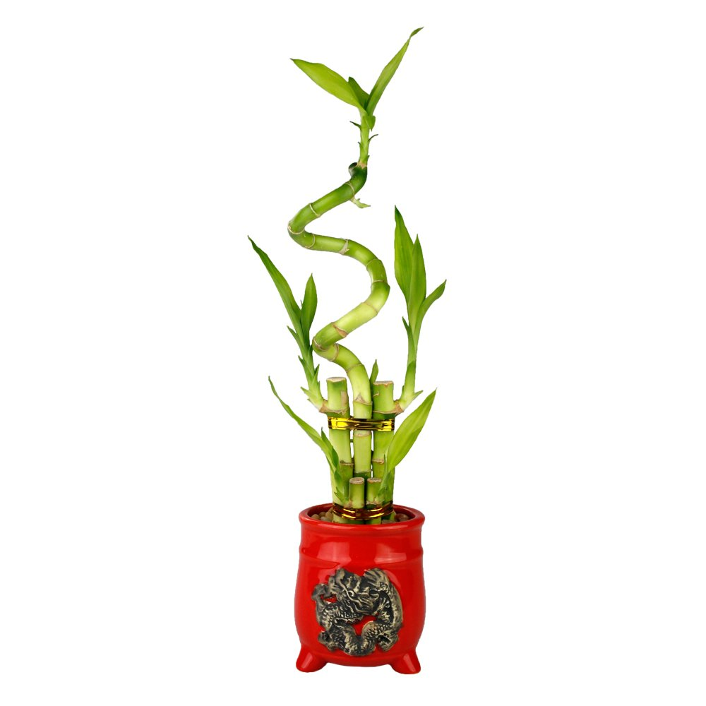Live Lucky Bamboo 5 Stalk with Spiral Arrangement with Red Ceramic Dragon Pot - Lucky Stalks Indoor House Plant for Good Luck, Fortune, Feng Shui and Zen Gardens