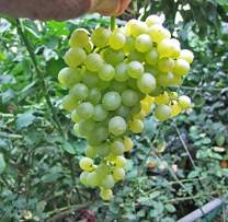 "Thompson Seedless Grape Vine Plant, Sweet Excellent Flavored""White"" Green Grape, Large Clusters on Vigorous Growing Vines. (2 Gallon)"