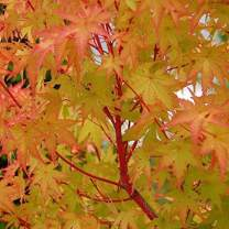 (1 Gallon) Coral Bark Sango KAKU Japanese Maple - Most Outstanding Lovely red bark on The Younger Branches in The Winter and Colorful Foliage Throughout from Yellow to Green to Gold