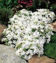 Pixies Gardens (1 Gallon) Phlox subulata Snowflake White Creeping Phlox is a Low Growing, Carpet-Like Spreader That is Covered in Spring with White Flowers.