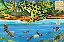 Life Cycle of a Northern Leopard Frog