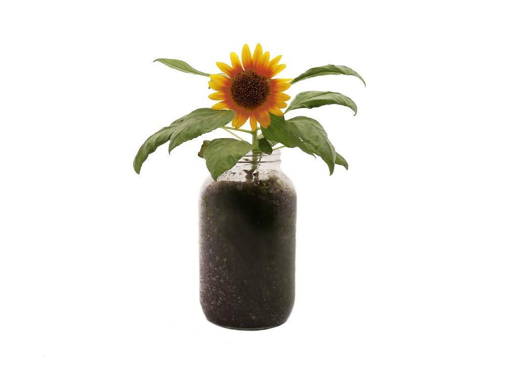 Back to the Roots Organic Sunflower Windowsill Planter - True Sunflower Seeds for Indoor Planting - Mason Jar Grow Kit & Planter