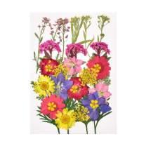 HAIOPS Pressed Flowers Larkspur, Alyssum, Ammi majus, Narcissus, Red Chrysanthemum, Artemisia Annua, Waterweed, for Resin Jewelry, Scrapbookings, 33pcs Real Flowers