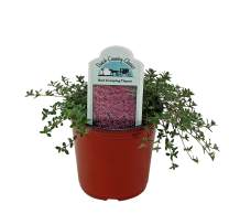 Dutch Country Classics Live Creeping Red Thyme Herb Plant (Pack of 1)