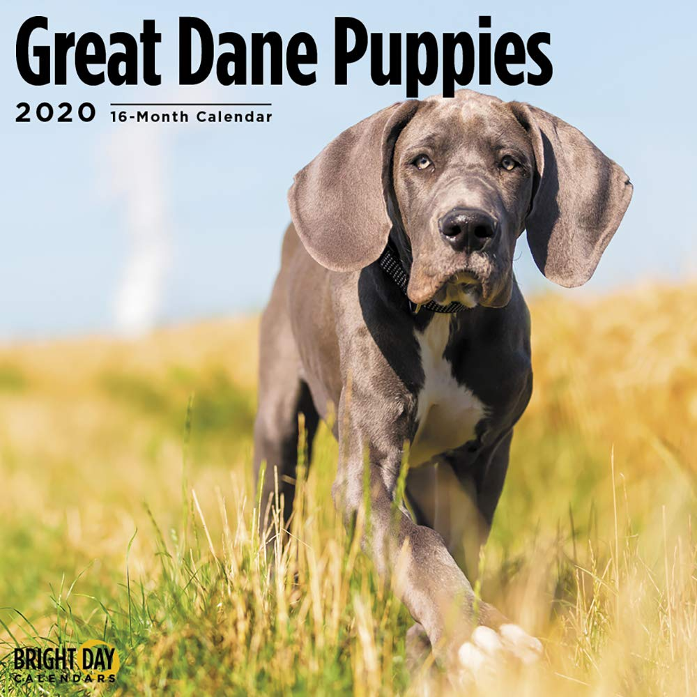2020 Great Dane Puppies Wall Calendar by Bright Day, 16 Month 12 x 12 Inch, Cute Dogs Animals Pet Deutsche Dogge German Mastiff Canine