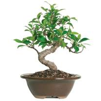 "Brussel's Bonsai Live Golden Gate Ficus Indoor Bonsai Tree-4 Years Old 5"" to 8"" Tall with Decorative Container, Small"