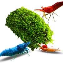 "Luffy Coco Mini Moss for Shrimps, 3"" x 1.75"", Java Moss on a Coconut Shell, Beautiful Aquatic Decor for Freshwater Shrimp Tank"