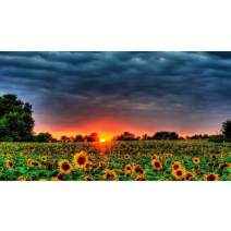 5D DIY Diamond Painting Kits for Adults Full Round Drill Sunset Sunflower Landscape Home Wall Decor (12 X 20 in)