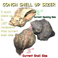 """THE OTHER TIDE Hermit Crab Changing Shells - Medium Shell Up-Sizing Package - Conch Shells - (1/8"""" Variances to 1/2"""" Above Current Size)"""