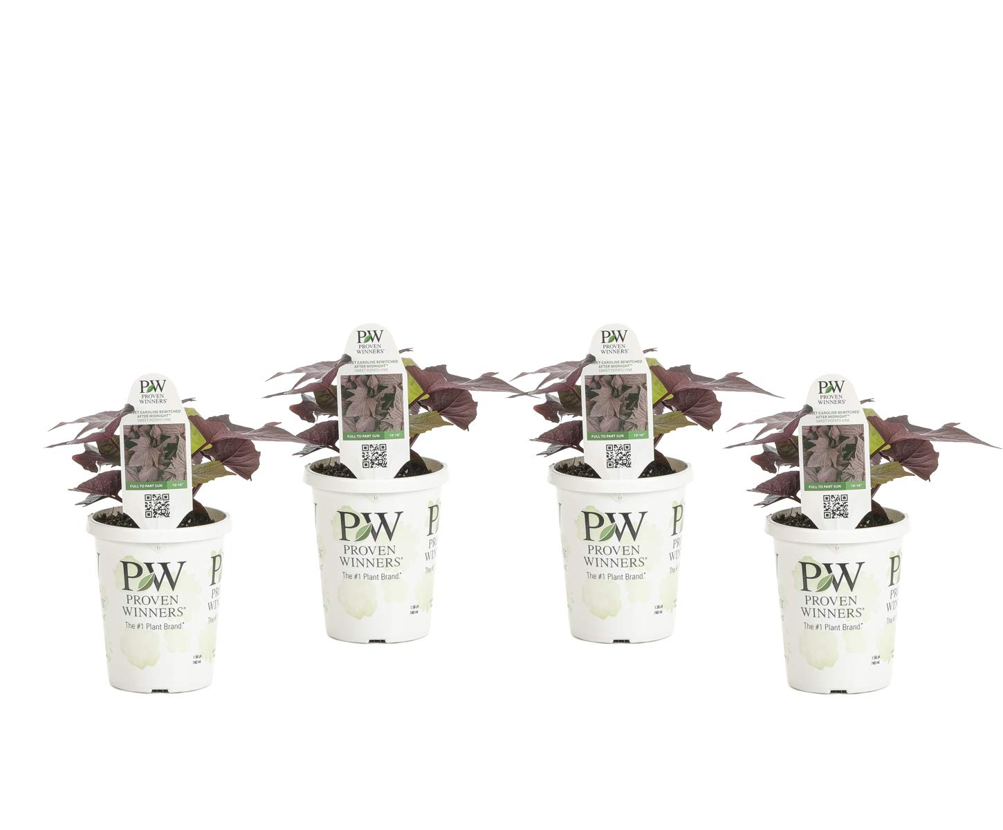 Bewitched After Midnight Sweet PotatoVine(Ipomoea) Live Plant, Deep Purple Foliage, 4.25 in. Grande,4-pack