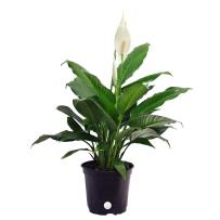 Costa Farms 6SPATH Peace Lily – Spathiphyllum, 15-Inch, Grower's Pot