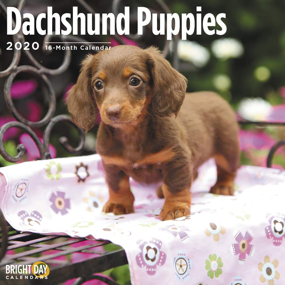 2020 Dachshund Puppies Wall Calendar by Bright Day, 16 Month 12 x 12 Inch, Cute Dogs Animals Doxies Weiner Sausage Canine