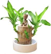 Mini Brazil Wood Lucky Wood Hydroponic Water Potted Plants Potted to purify The air Indoor Office Desktop Plant