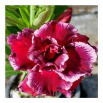 Rare Adenium Obesum, Double Flower, Grafted Mature Plant, Easy Care, Desert Rose Plant, New Hybrids, Not Just Seeds (27 Haang Pla Gat)