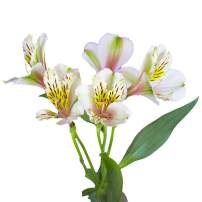 GlobalRose Alstroemerias- 120 Blooms of Cream Flowers- 30 Peruvian Lily Steams