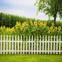 Baocicco 6x6ft Sunflower Garden Backdrop Green Spring Backdrop Green Grassland Backdrop White Fence Backdrop Wedding Backdrop Summer Holiday Backdrop Children Adults Photo Shooting Props Photo Booth