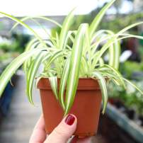 Garden Elements Live Chlor Spider Plant, 12cm Pot (Curly)