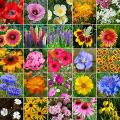 Midwest Wildflower Seed Mix- 1 Pound