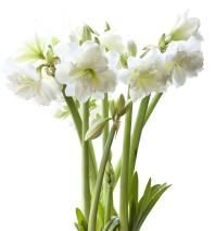 BloomingBulb White Mini Amaryllis-3 Pack, 26-30 cm bulbs, White with yellow-green center