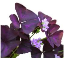 Oxalis Triangularis Bulbs - Purple Shamrocks - 20 Robust Bulbs - Grows Indoors & Out | Ships from Easy to Grow TM