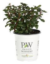 Tiny Wine Ninebark (Physocarpus) Live Shrub, White Flowers and Purple Foliage, 4.5 in. Quart
