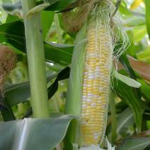 Peaches & Cream Hybrid Corn Garden Seeds - 25 Lb Bulk ~51,925 Seeds - Non-GMO Vegetable Gardening Seeds - Yellow & White Sweet (SE) Corn Kernels