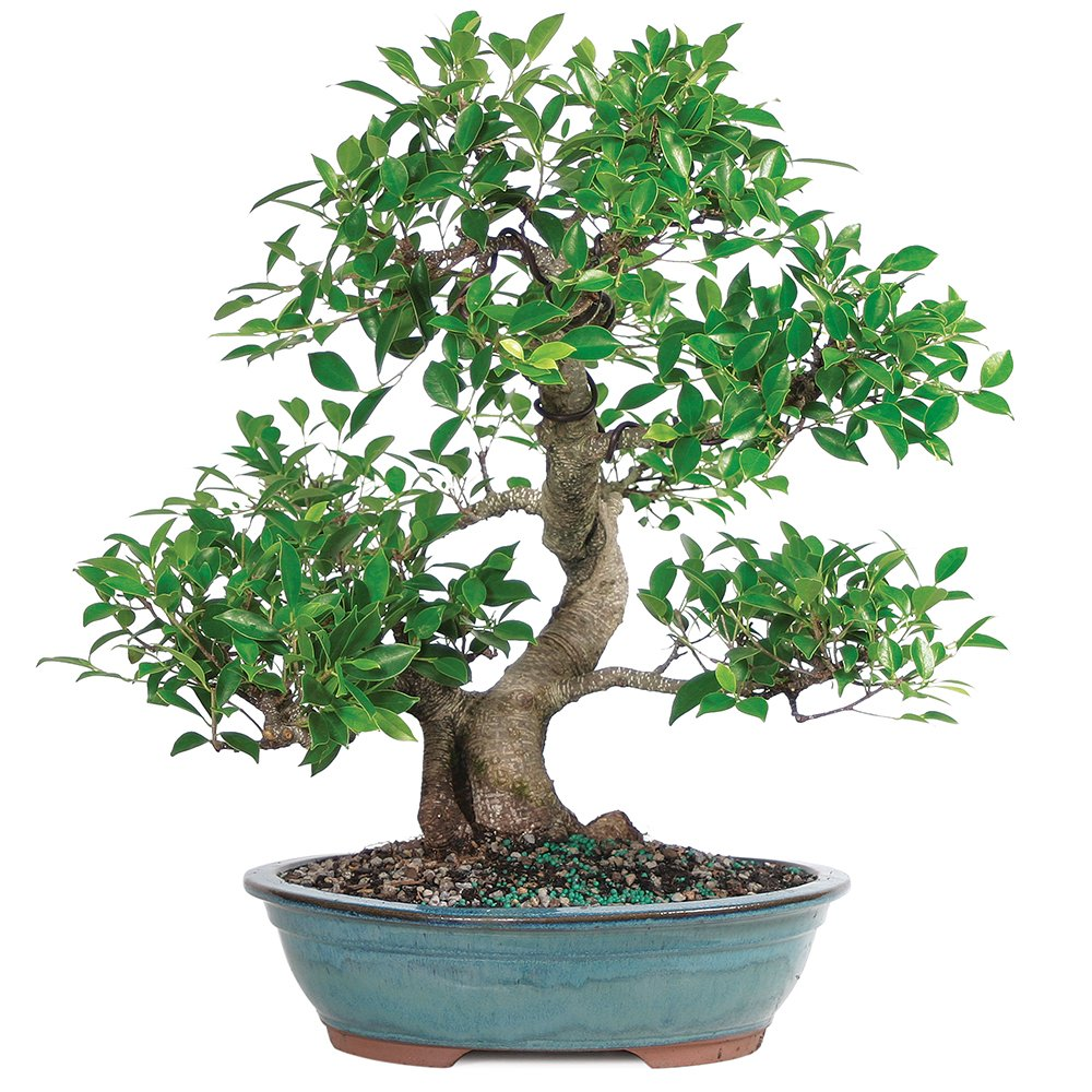 """Brussel's Live Golden Gate Ficus Indoor Bonsai Tree - 20 Years Old; 18"""" to 22"""" Tall with Decorative Container"""