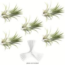 Air Plant Holder for Vertical Garden 5 Pack Wall Planter for House Plants, Hanging Plant and Tillandsia Air Plants Living Wall Terrarium. Great Wall Decorations for Living Room | No plants included W5