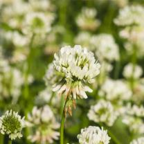 White Dutch Clover Seeds - 1 Lb - Lawn, Pasture & Cover Crop Seeds by Mountain Valley Seed Company