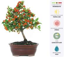 "Brussel's Live Dwarf Pyracantha Outdoor Bonsai Tree - 5 Years Old; 8"" to 12"" Tall with Decorative Container"