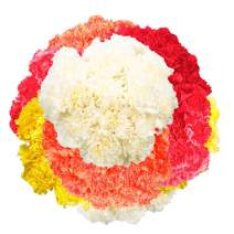 GlobalRose Wholesale Color Carnations - 350 Assorted Color Carnations