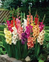 Van Zyverden Gladiolus - Large Flowering Rainbow Mixed - Set of 25 Bulbs