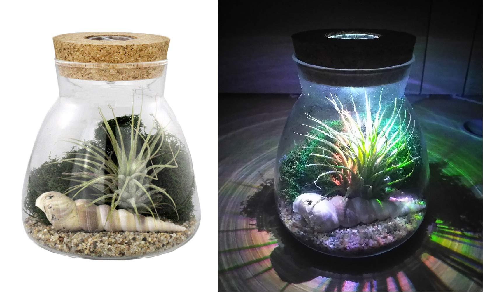 NW Wholesaler Live Tillandsia Air Plant Terrarium Kit with Color Changing LED Light Display - Multi Color Illuminating Light Changes Air Plants Colors (Beach Sand)