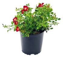 Flower Carpet Roses - Rosa Red (Rose) Rose, red flowers, #2 - Size Container