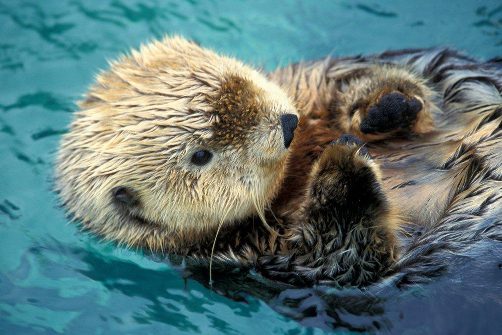 Sea Otter Up Close (9x12 Art Print, Wall Decor Travel Poster)