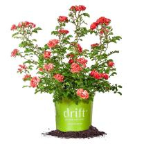 Perfect Plants Coral Drift Rose Live Plant, 1 Gallon, Includes Care Guide